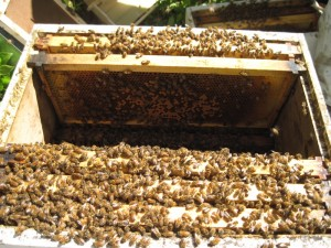Inside one of Colin Wharton's bee hives