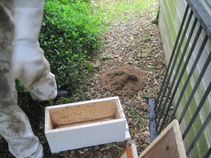 A swarm of bees being collected by Colin Wharton