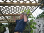 Grape Arbor Construction, Step 4, Training Grape Vines